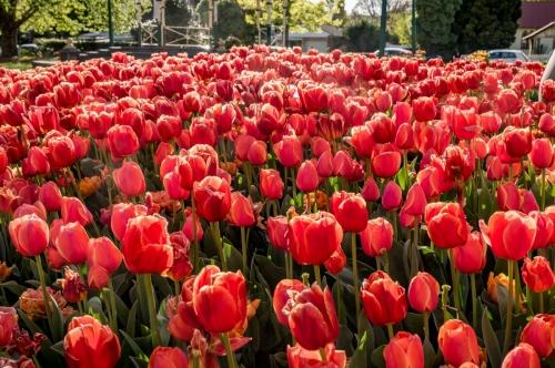 20171007 Tulips 2017 74