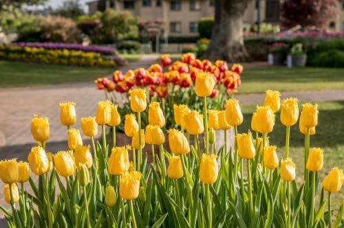 20171007 Tulips 2017 80